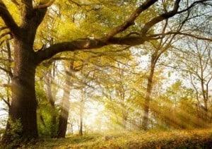 10958860-a-huge-old-oak-tree-in-autumn-park-lighted-sun-sunrise